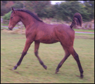 Blacklaw Intrepid stunning colt for sale