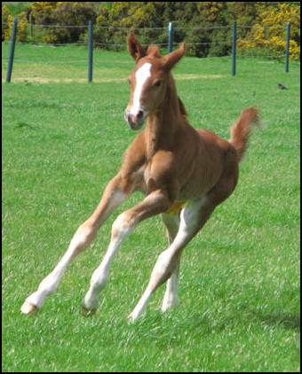 Filly foal by Pinocchio