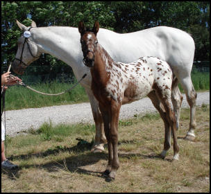 Knabstrupper mare and foal