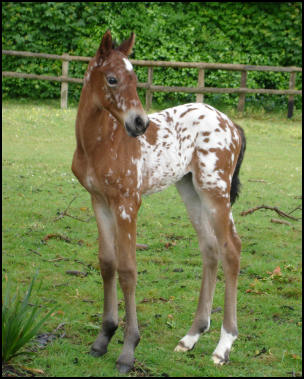 Knabstrupper filly