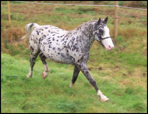 Pinocchio Knabstrupper stallion